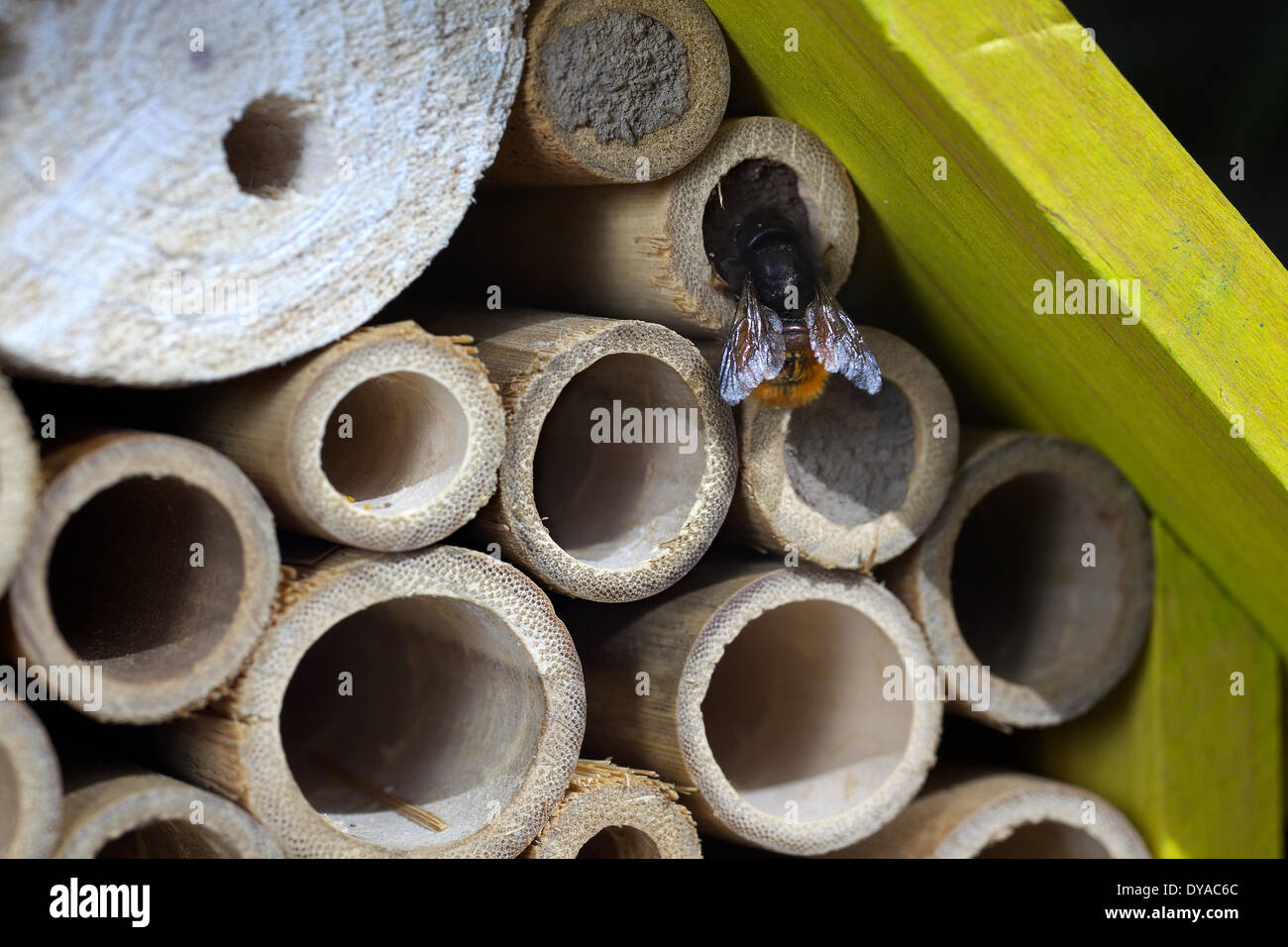 A wild bee at an insects nesting box, 09.04.2014 - Stock Image