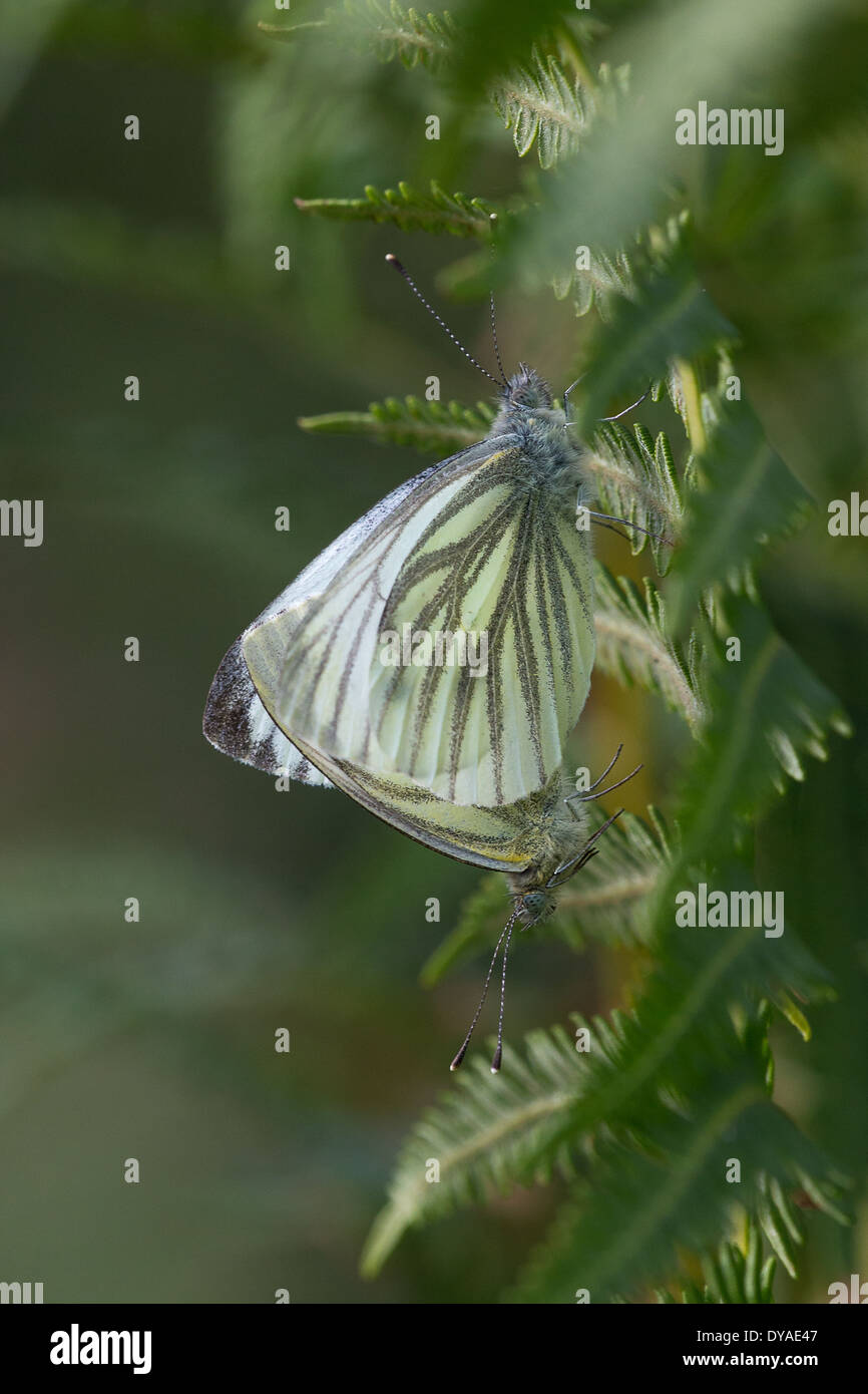 A Green Veined White butterfly (Pieris napi) rests on a bracken frond - Stock Image