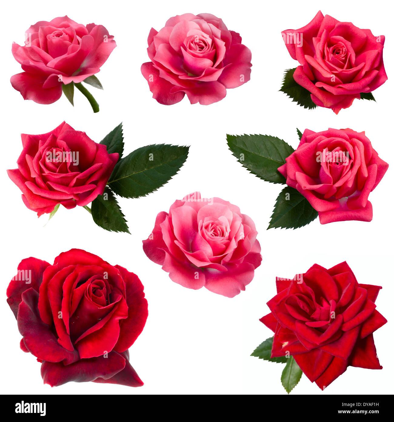Collage beautiful red rose macro stock photos collage beautiful collage of eight red roses stock image izmirmasajfo
