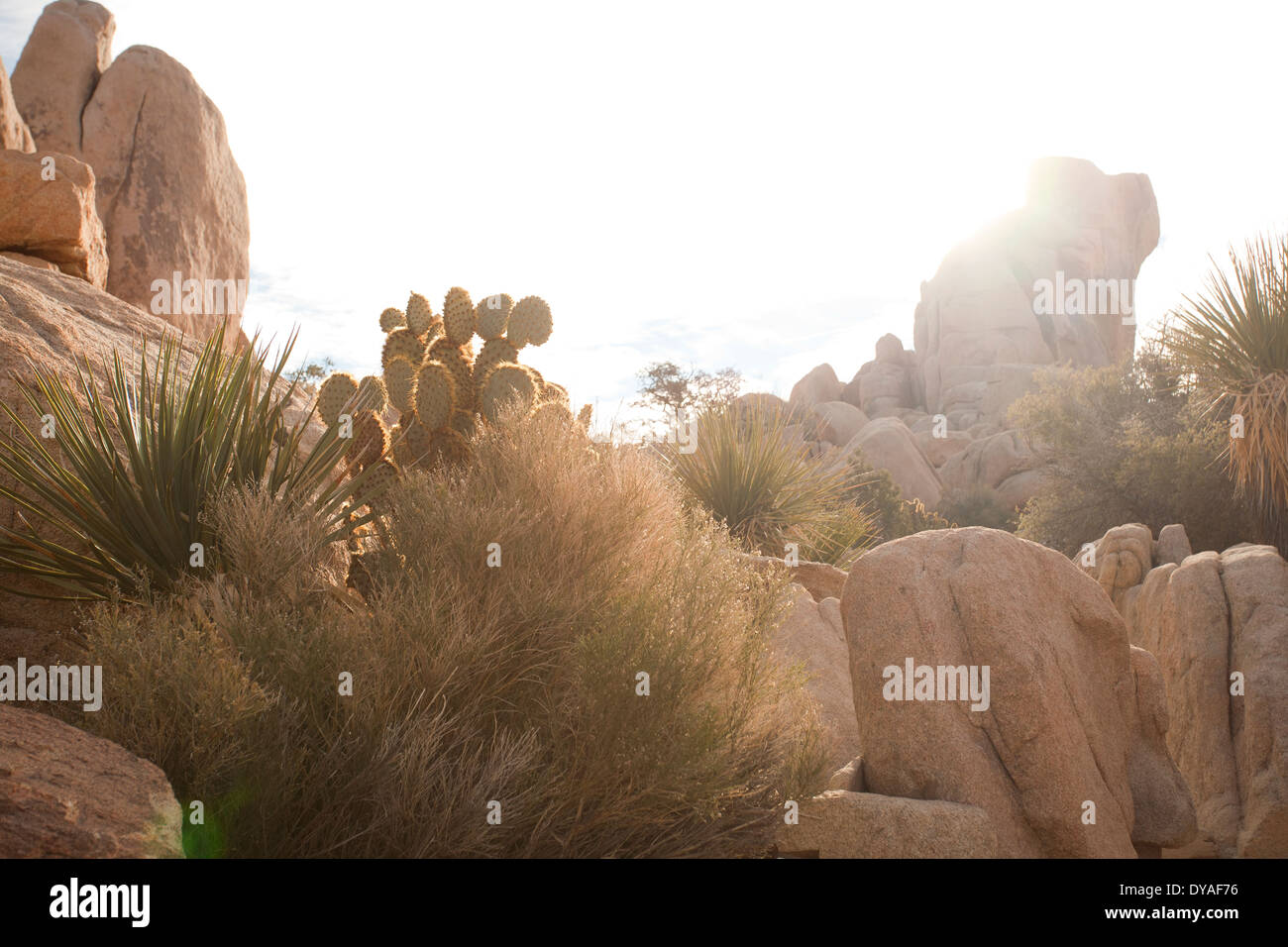 Vegetation found in Joshua Tree National Park, California - Stock Image