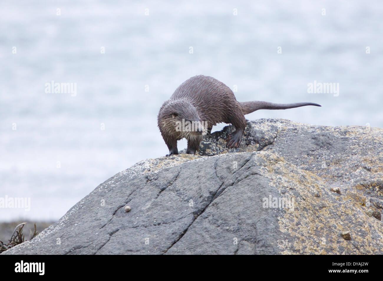Dog Otter prowles the shoreline at Loch na Kiel, Isle Of Mull - Stock Image