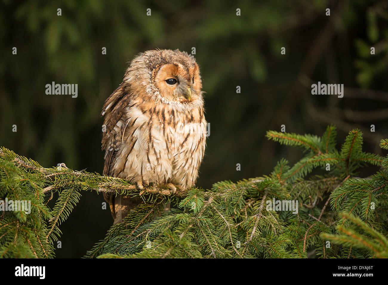 Tawny Owl (Strix aluco) in a Fir Tree (Abies) - Stock Image