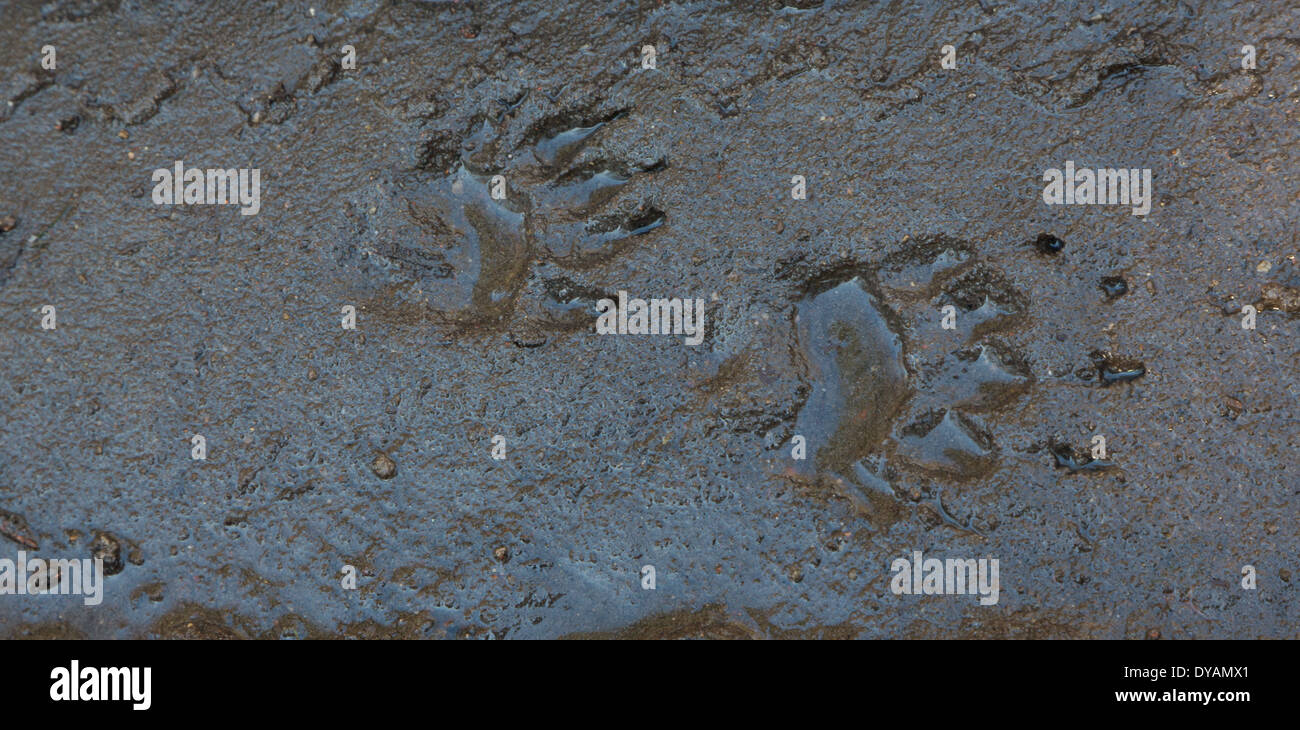 Badger track in wet mud water filled - Stock Image