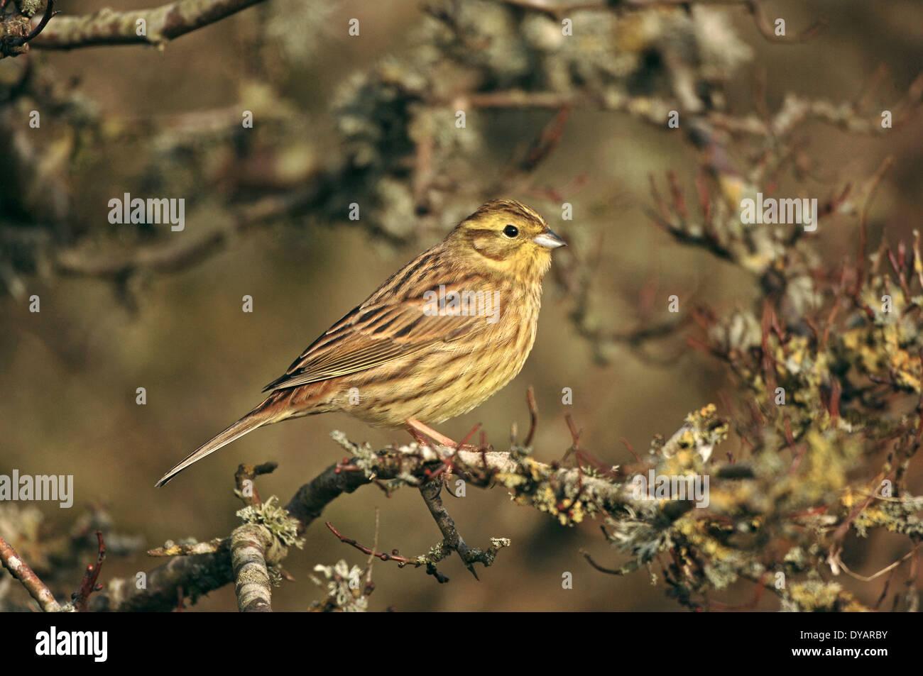 Yellowhammer - Emberiza citrinella - winter female/1st winter - Stock Image