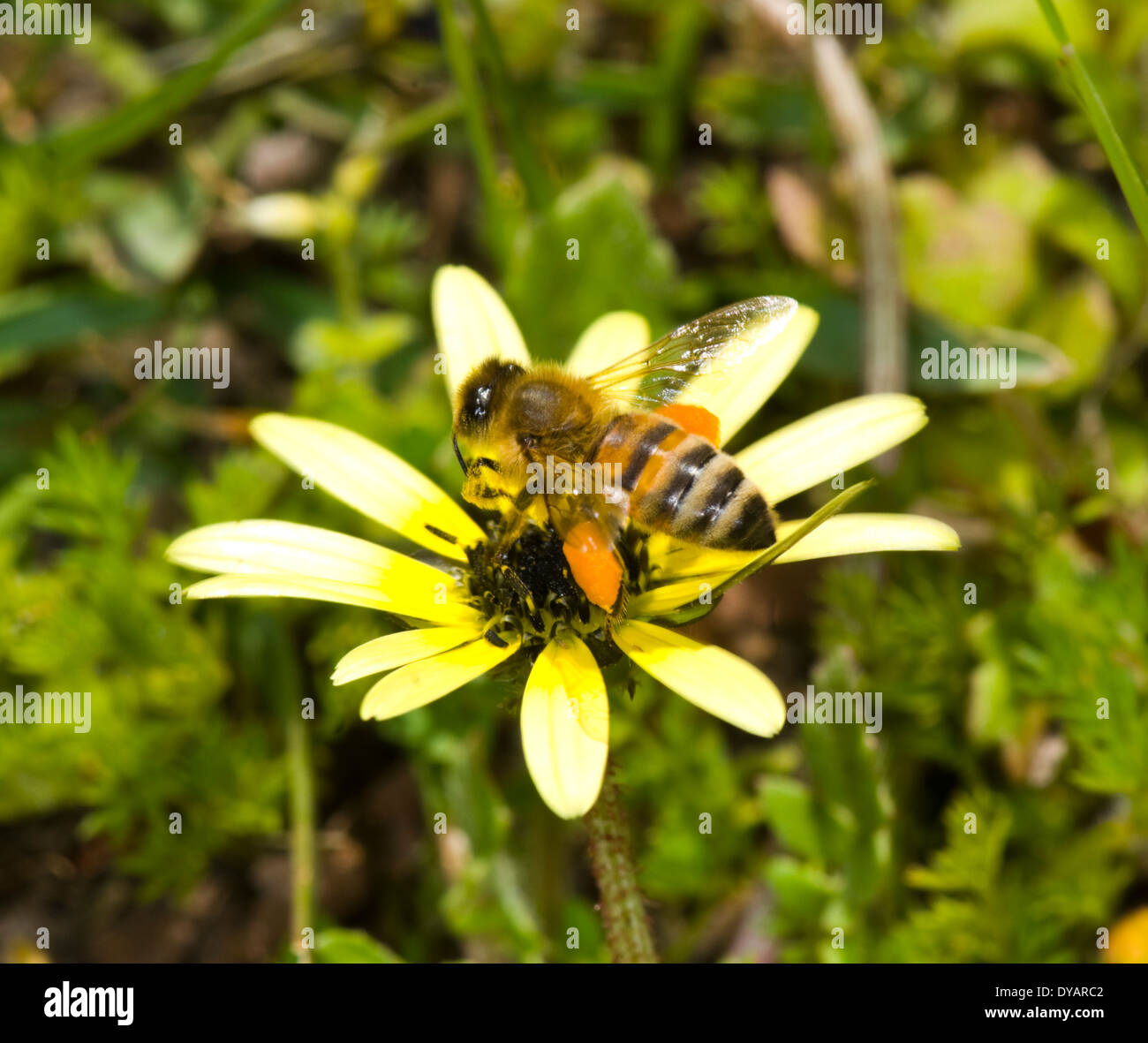 Honey bee pollinating and showing pollen sacs, Wee Jasper, New South Wales, Australia - Stock Image