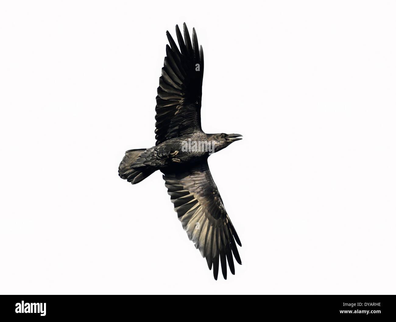 Raven Corvus corax - Stock Image