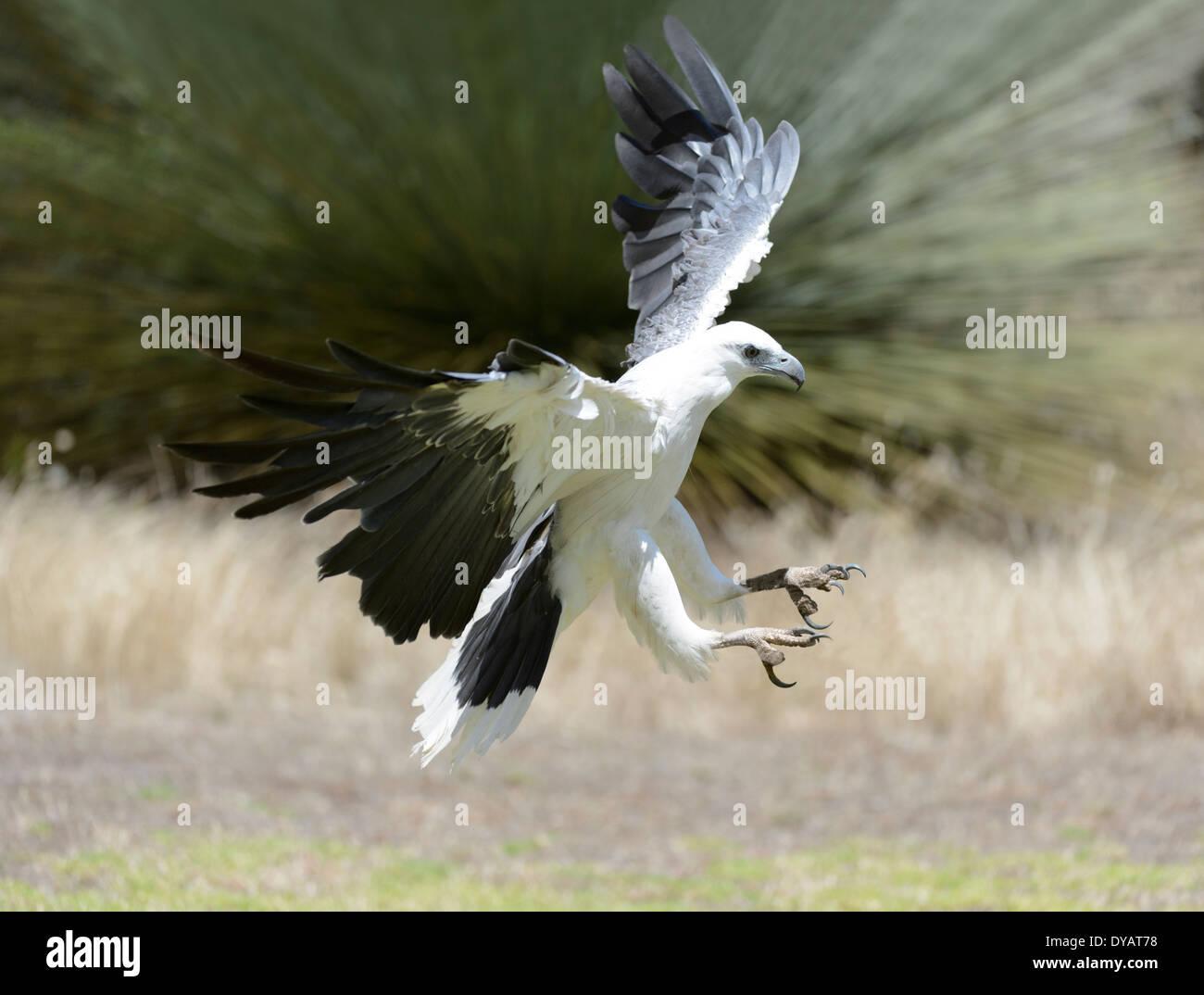 White-bellied Sea-eagle (Haliaeetus leucogaster) Stock Photo