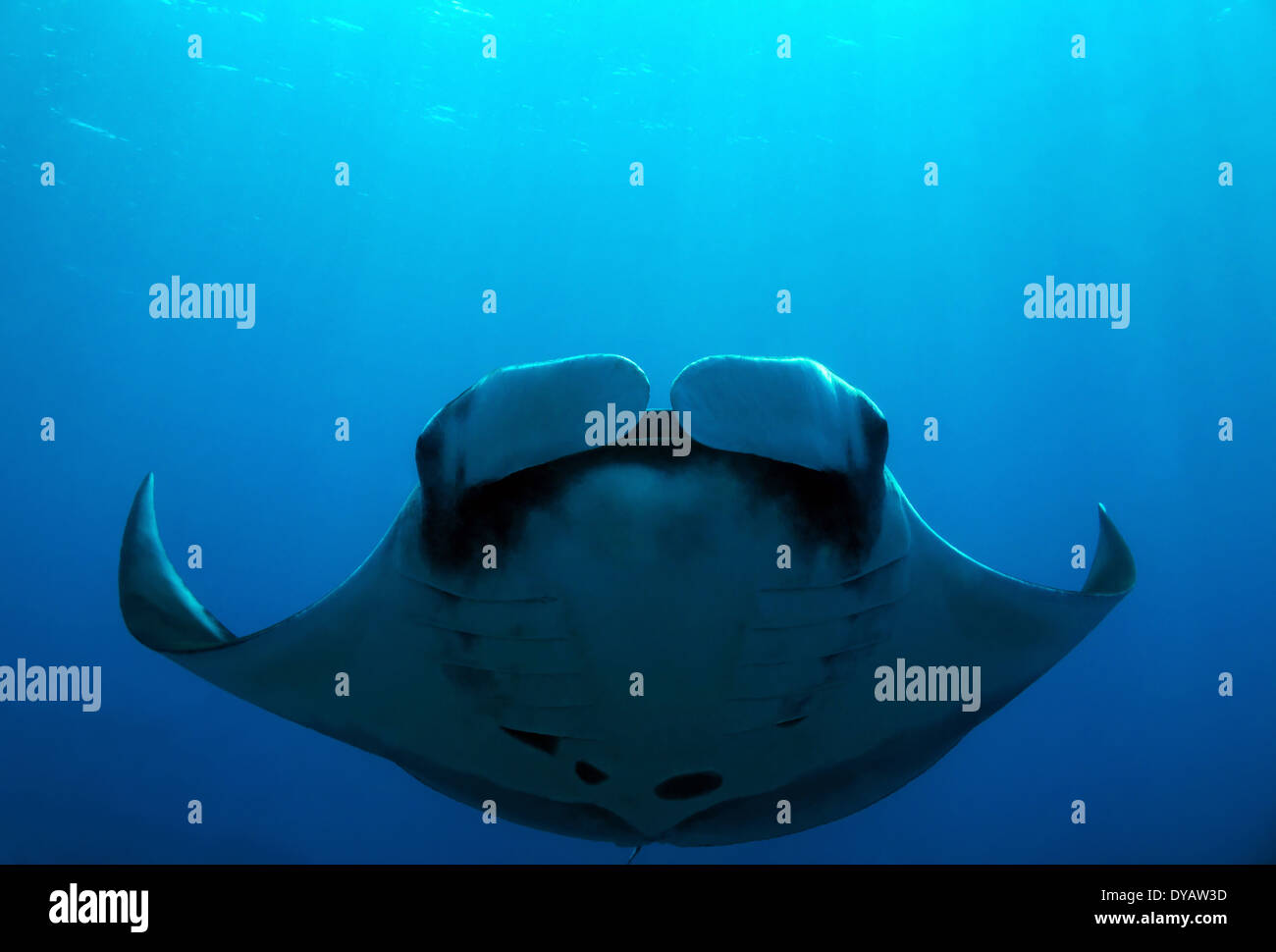 5d24878c4cddb Giant Oceanic Manta Ray Swimming Stock Photos   Giant Oceanic Manta ...