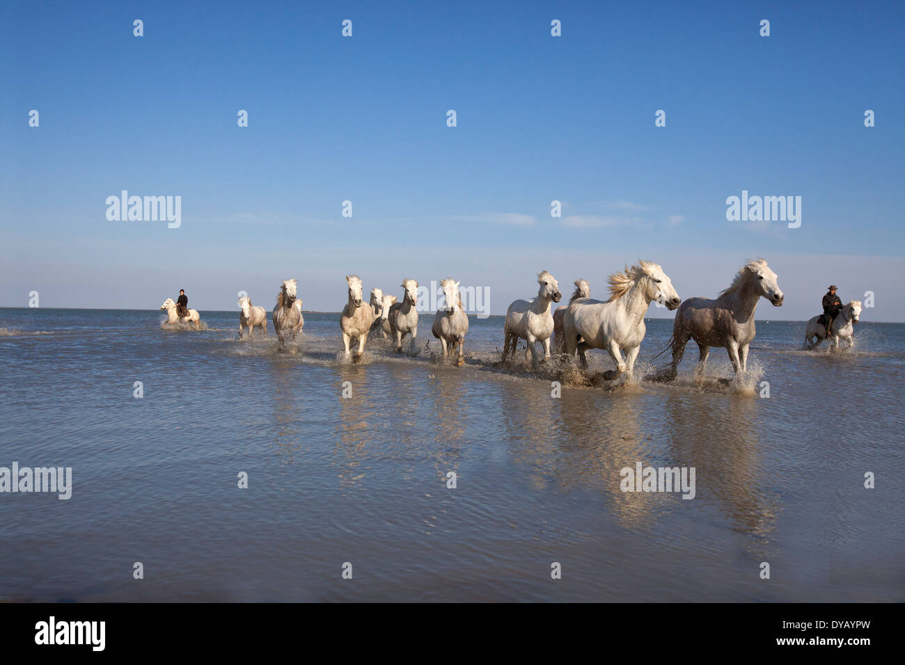 White horses of the Camargue Sth France in water at sunset - Stock Image