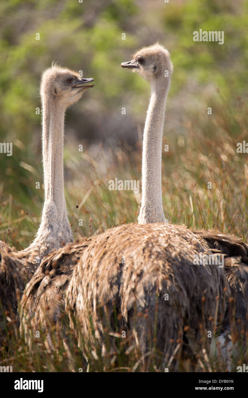 Two ostriches pose for their portrait in the Cape Point Nature Reserve against a backdrop of indigenous fynbos - Stock Image