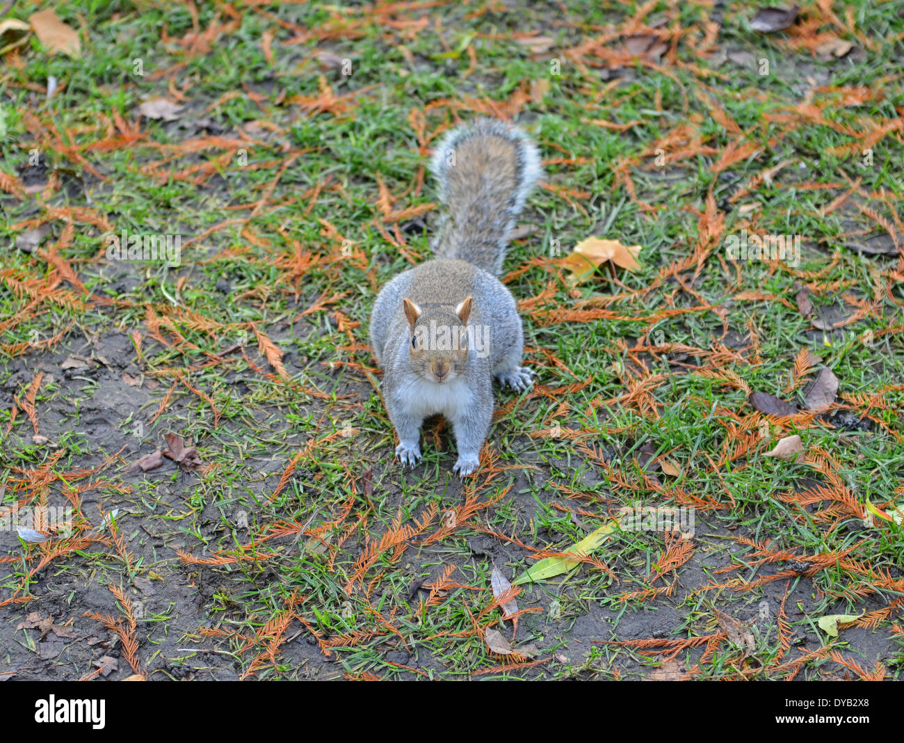 Grey Squirrel in St. James Park, London, UK - Stock Image