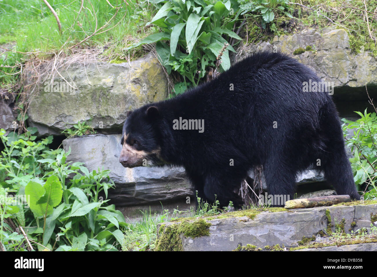Spectacled or  Andean bear (Tremarctos ornatus) Stock Photo