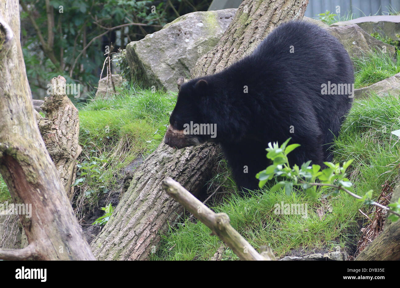 Spectacled or  Andean bear (Tremarctos ornatus) at Emmen Zoo, The Netherlands Stock Photo