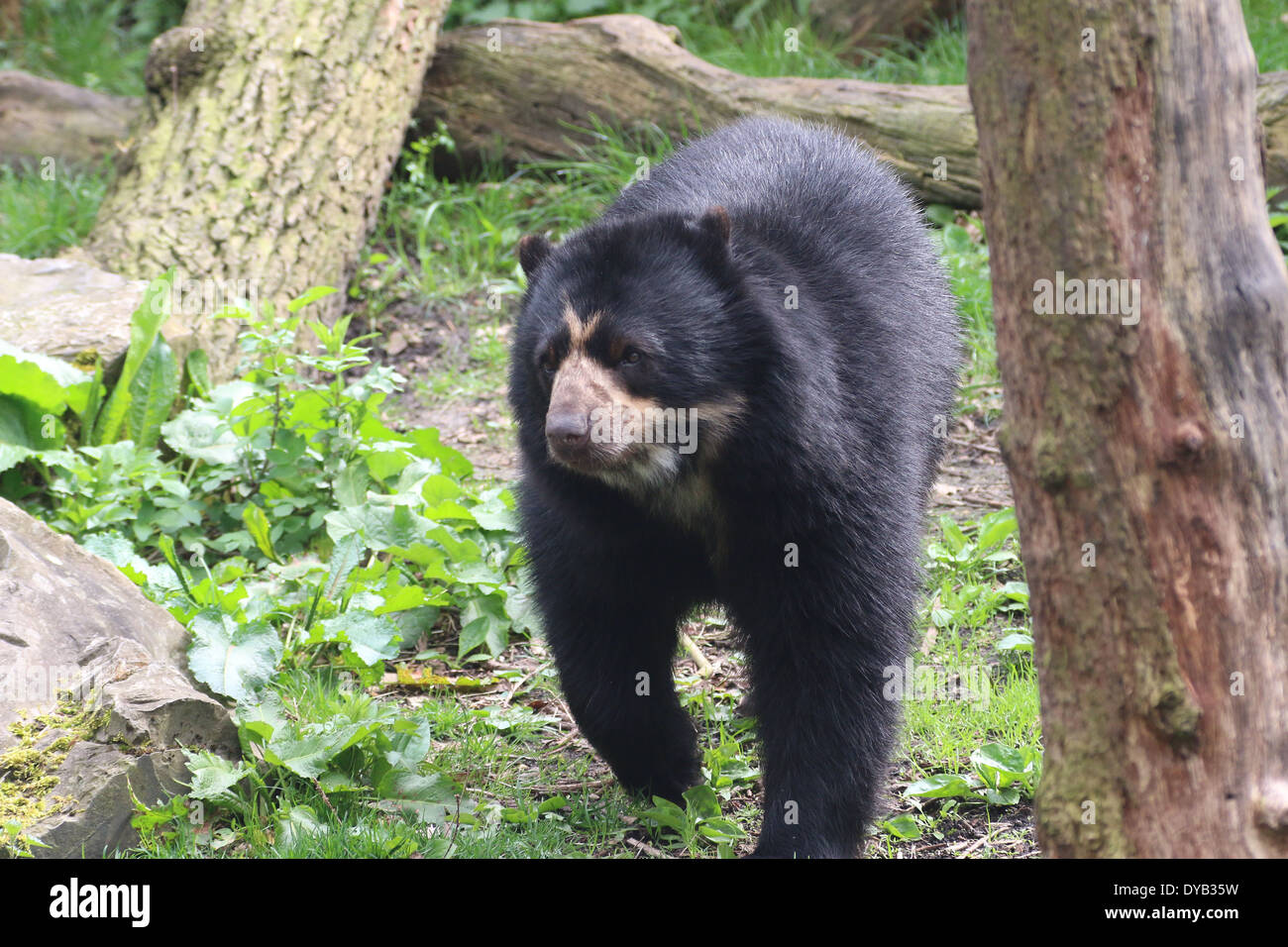 Spectacled or  Andean bear (Tremarctos ornatus) walking between trees, moving towards the camera Stock Photo