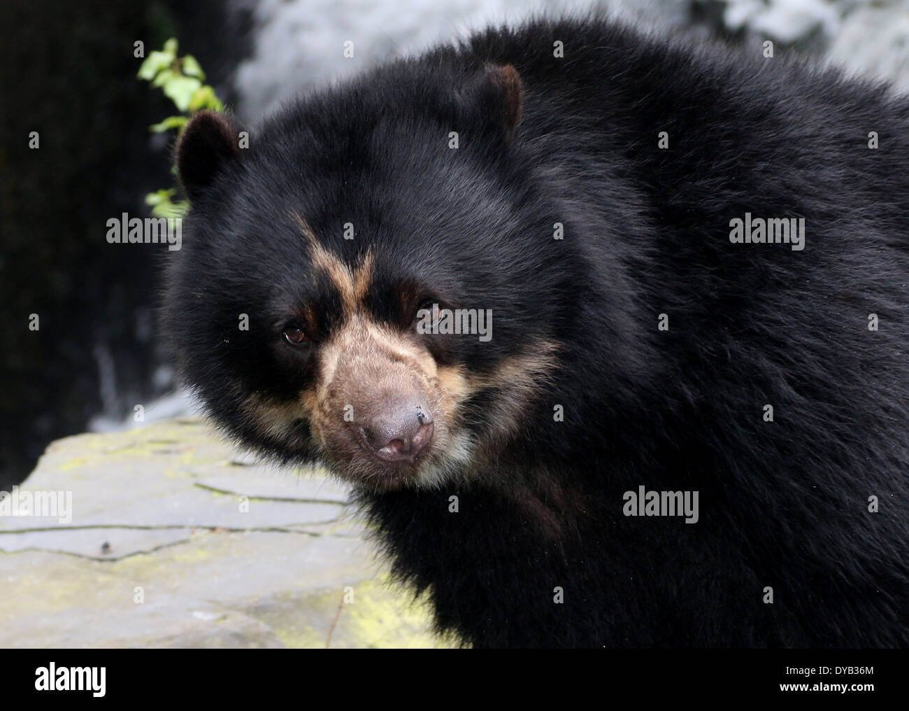 South American Spectacled or  Andean bear (Tremarctos ornatus) close-up, facing camera Stock Photo