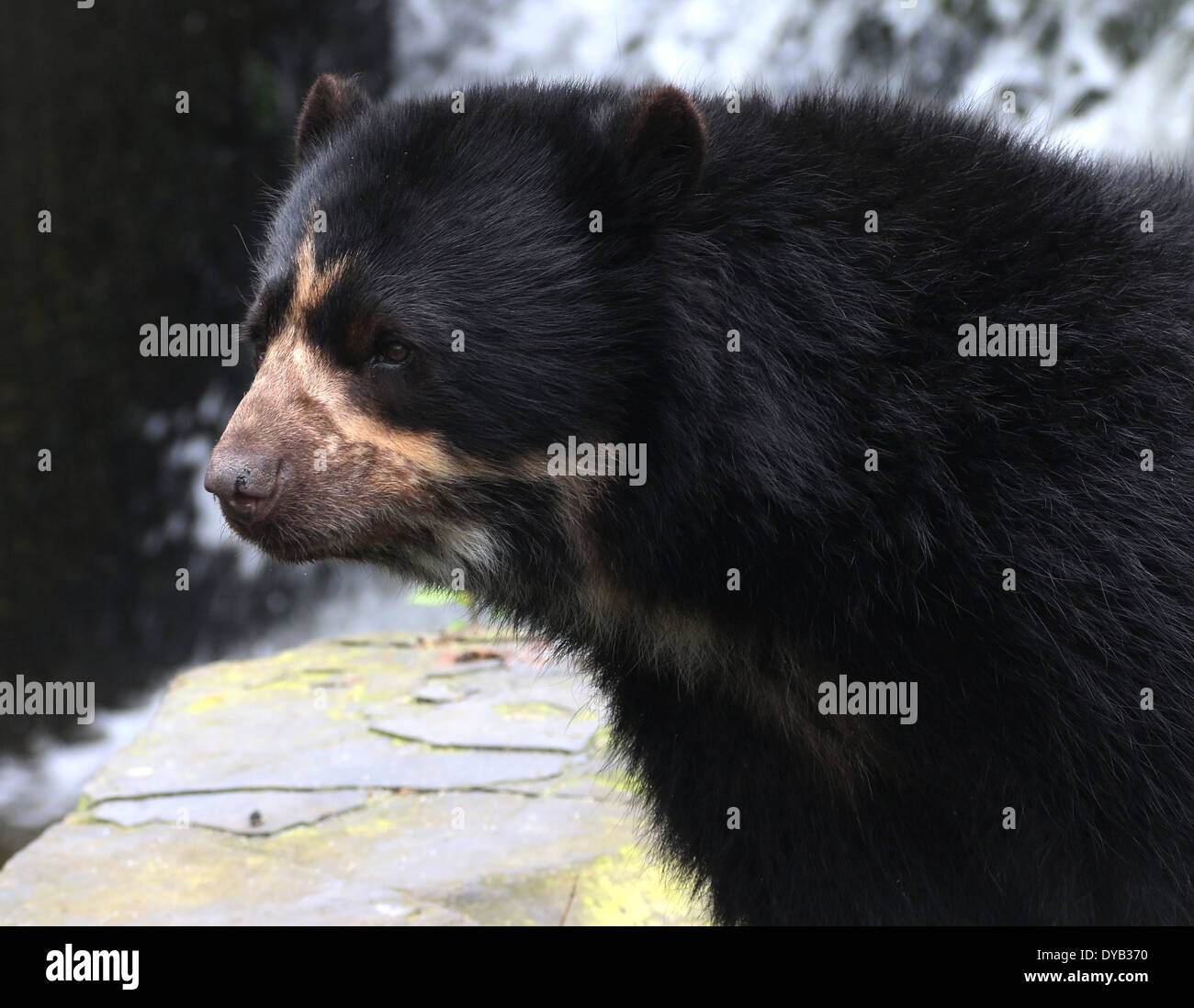 Spectacled or  Andean bear (Tremarctos ornatus) close-up Stock Photo