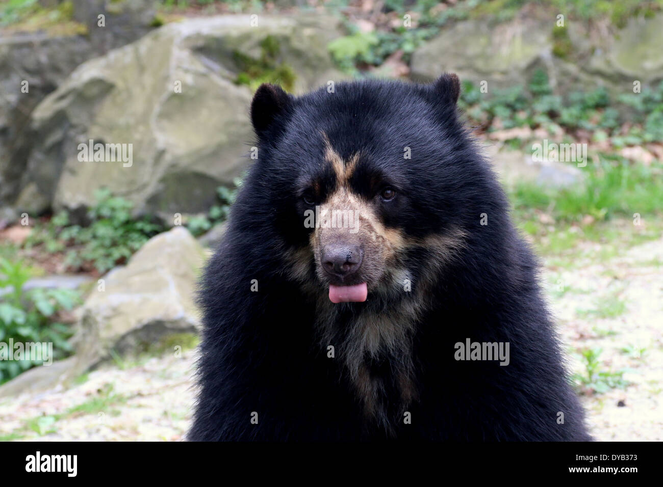 Spectacled or  Andean bear (Tremarctos ornatus) close-up, licking lips Stock Photo