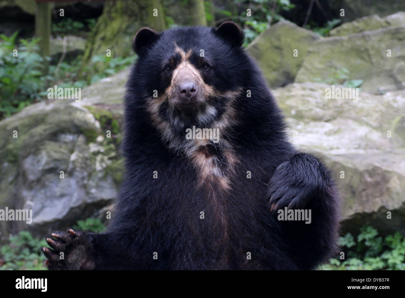Spectacled or  Andean bear (Tremarctos ornatus) standing on hind legs, paws in the air Stock Photo