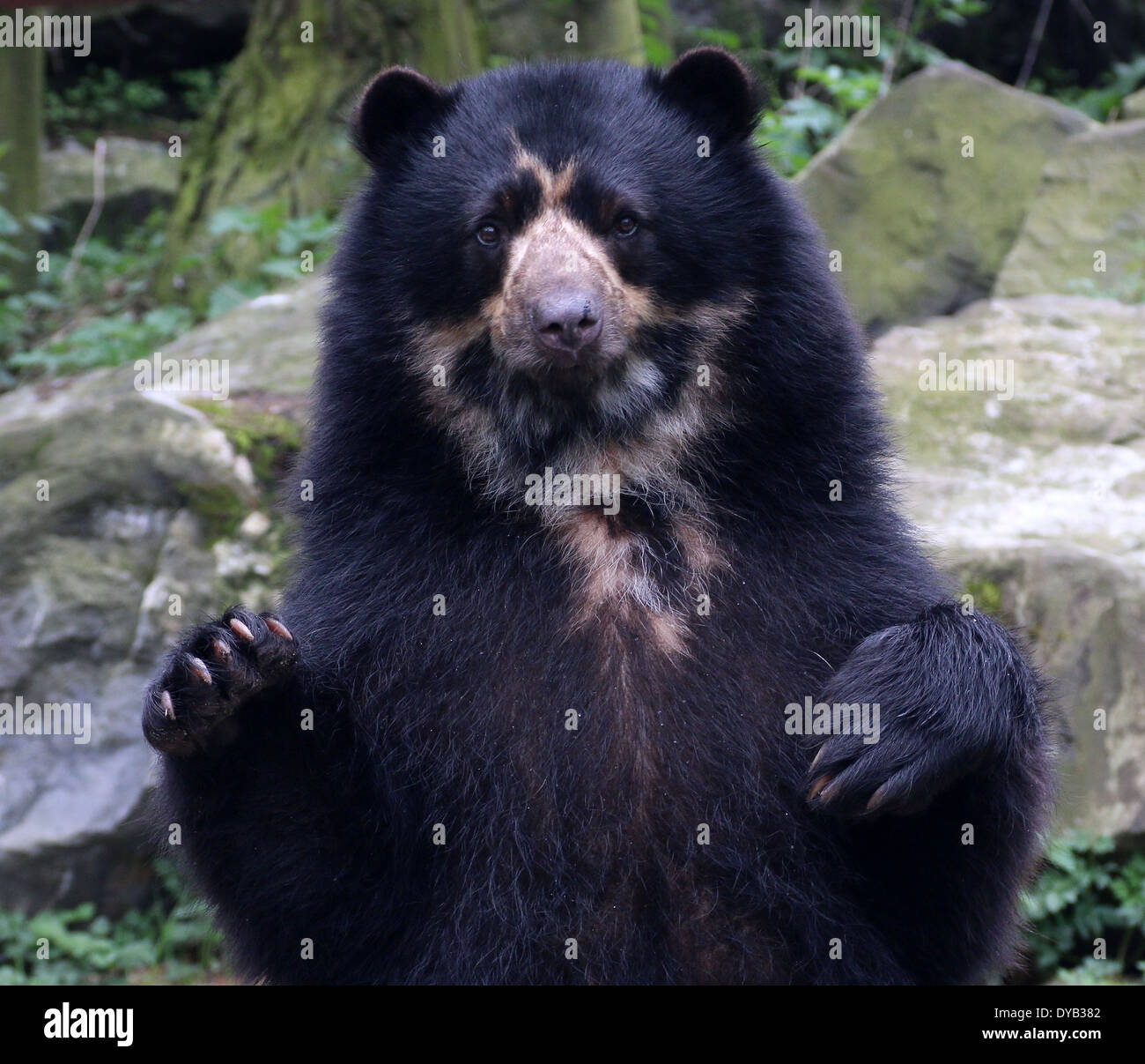 Mature male South American Spectacled or  ndean bear (Tremarctos ornatus) close-up, paws lifted up in the air Stock Photo