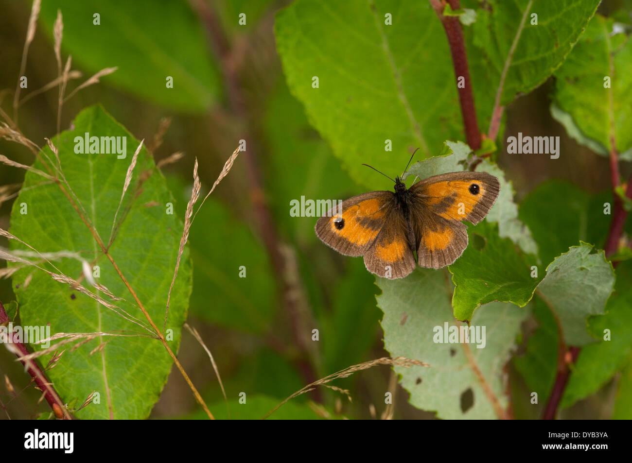 A Gatekeeper butterlfy  -  Pyronia tithonus - Stock Image