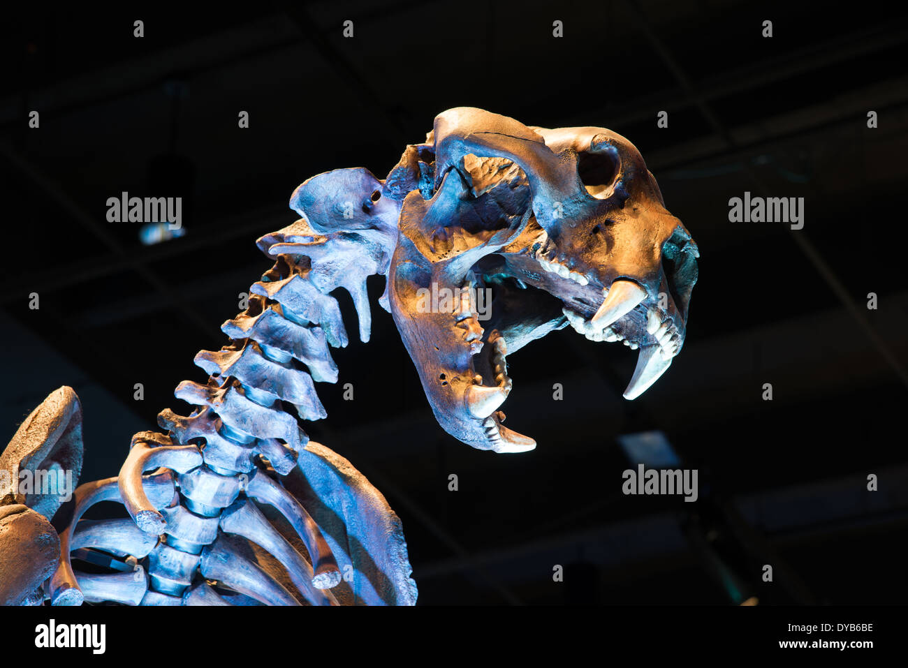Fossil skeleton of a short-faced bear (Arctodus), an extinct bear lived in North America during the Pleistocene epoch. - Stock Image
