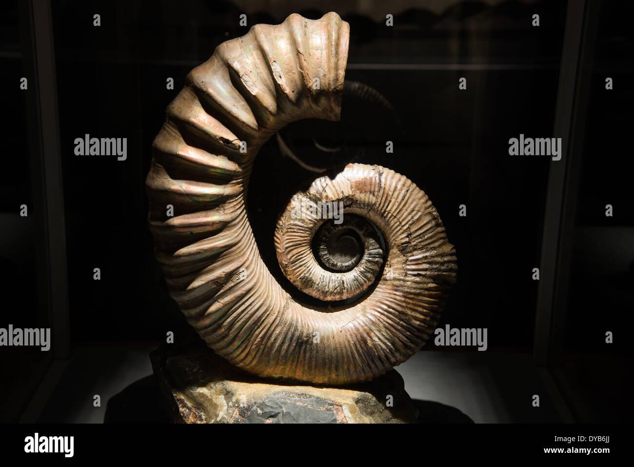 Fossil ammonite. Cretaceous age. - Stock Image