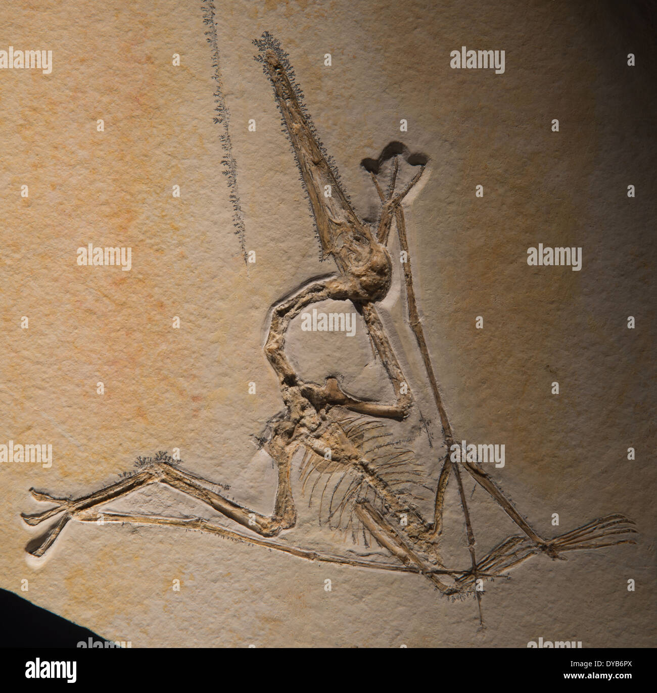 Fossil Pterodactyl (Pterodactylus sp.). Jurassic age. - Stock Image