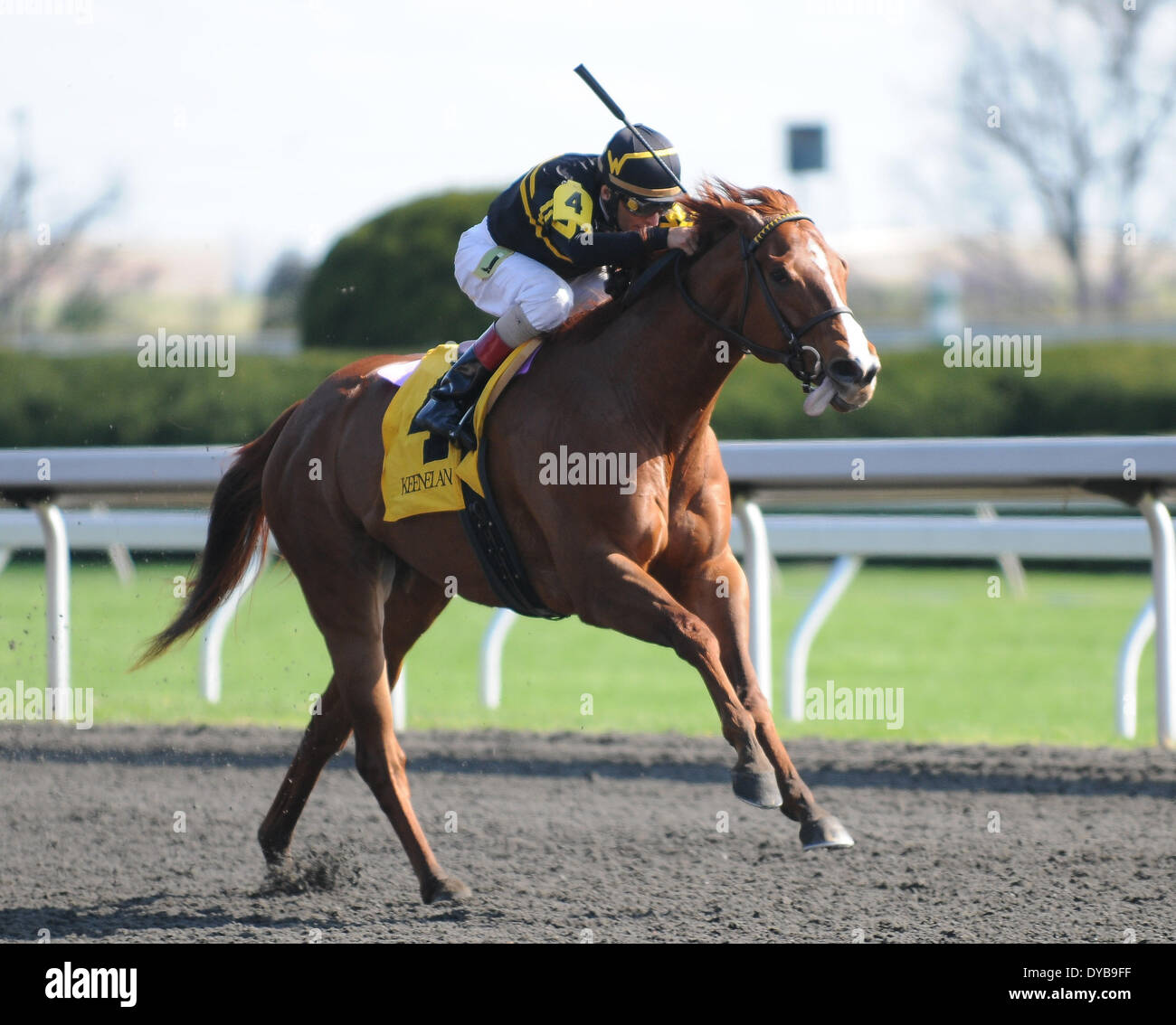 Lexington, KY, USA. 12th Apr, 2014. Aoril 12, 2014: Judy the Beauty and jockey John Velazquez win the G1 Madison S. at Keeneland for owner and trainer Wesley Ward.Jessica Morgan/ESW/CSM/Alamy Live News - Stock Image