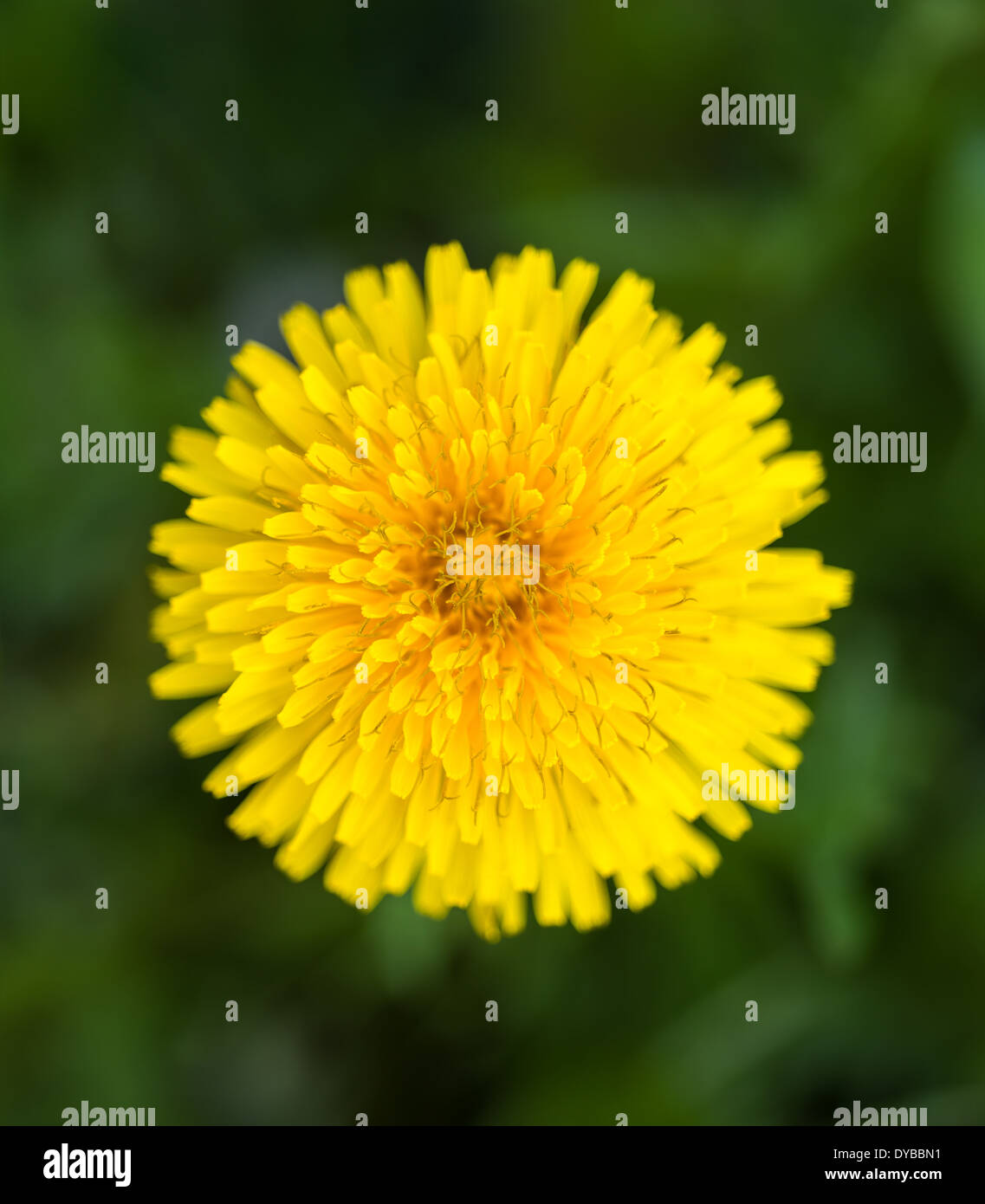 Dandelion flower on green blurred background - Stock Image
