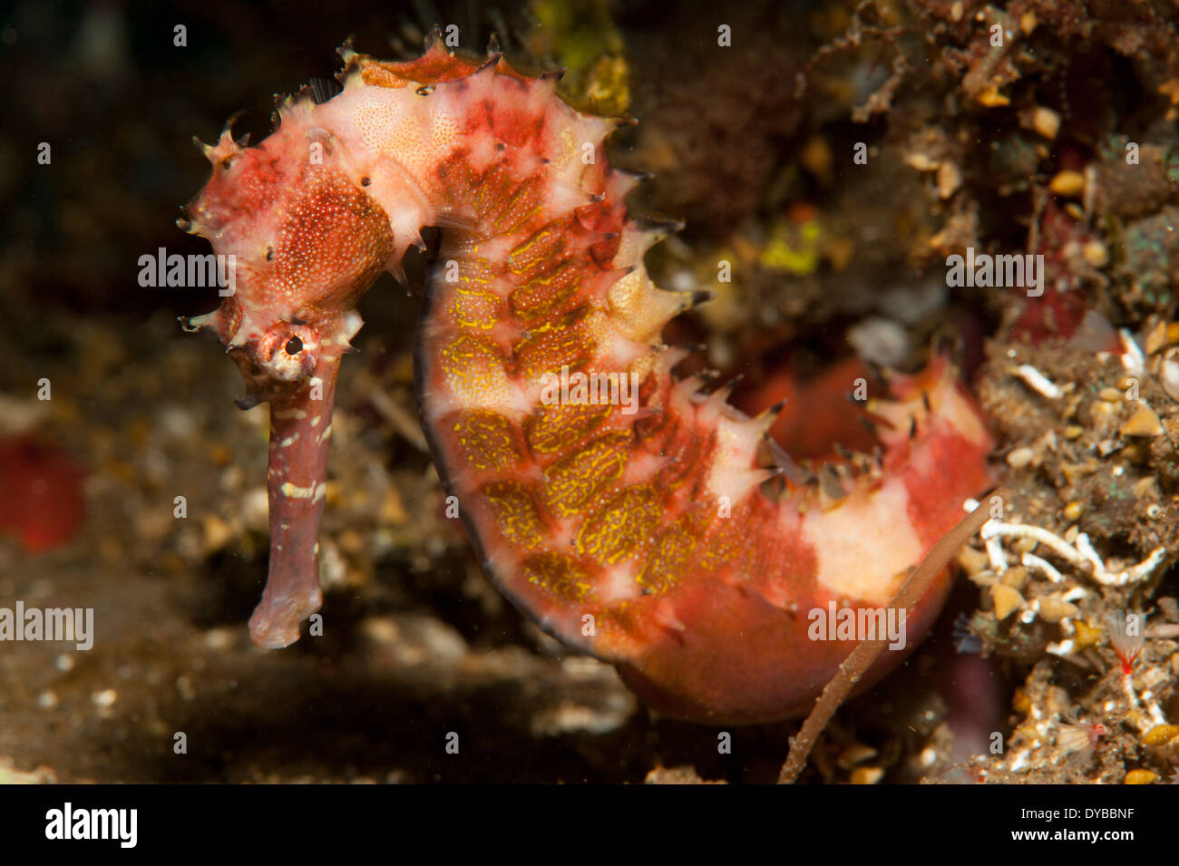 Thorny seahorse (Hippocampus histrix), side view, red and pink with yellow markings, Tulamben, Bali, Indonesia. - Stock Image
