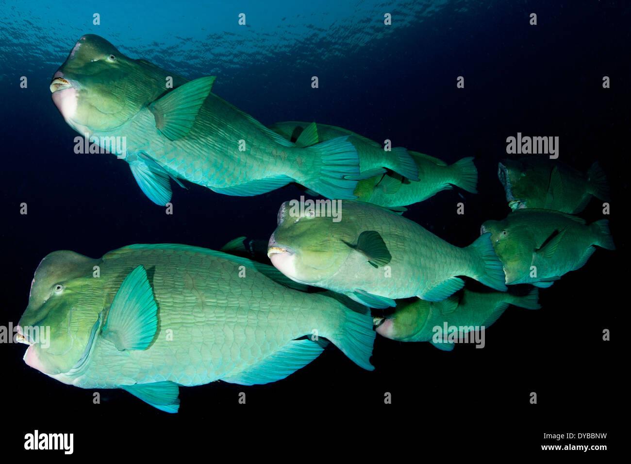 Large school of bumphead parrotfish (Bolbometopon muricatum), found around the Liberty Wreck, Bali, Indonesia. - Stock Image