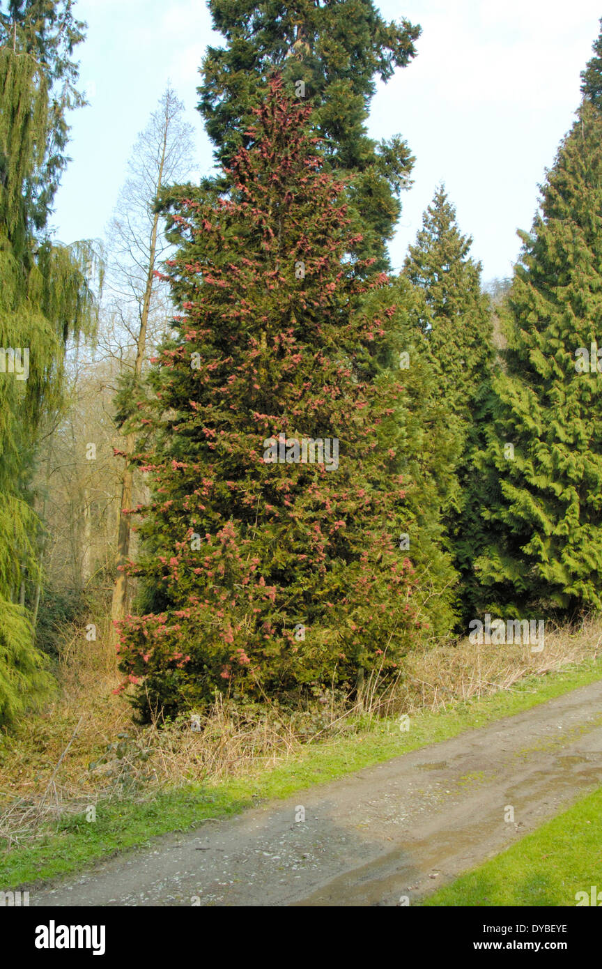 Lawson's Cypress, Chamaecyparis lawsoniana - Stock Image