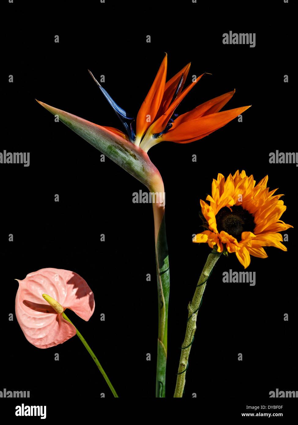 anthurium flowers stock photos amp anthurium flowers stock