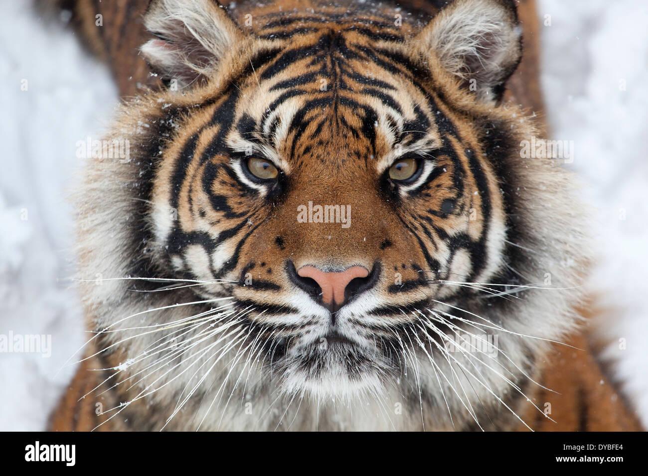 Tiger face Stock Photo: 68480444 - Alamy