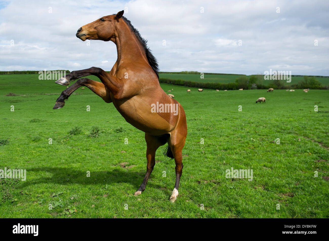 A rearing bay coloured horse in a field of sheep, England. - Stock Image