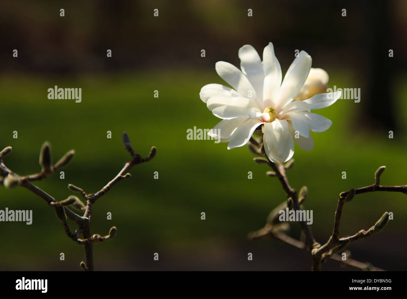 Single Tree Blossom in a Park near Reading, PA - Stock Image