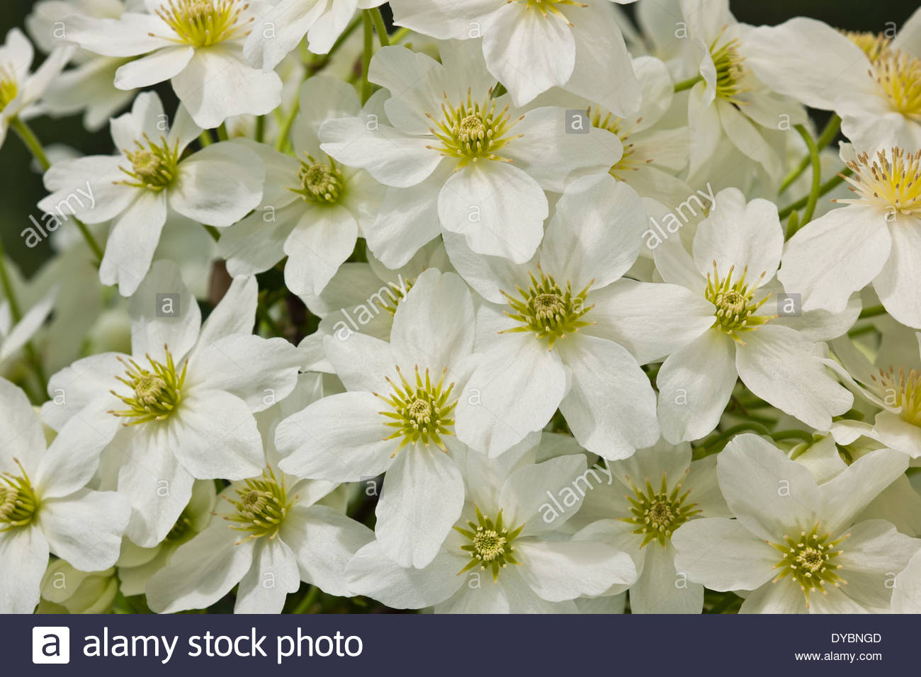 Clematis x cartmanii avalanche spring flower evergreen scented scent clematis x cartmanii avalanche spring flower evergreen scented scent perfume climbing vine cream white april garden plant blooms mightylinksfo