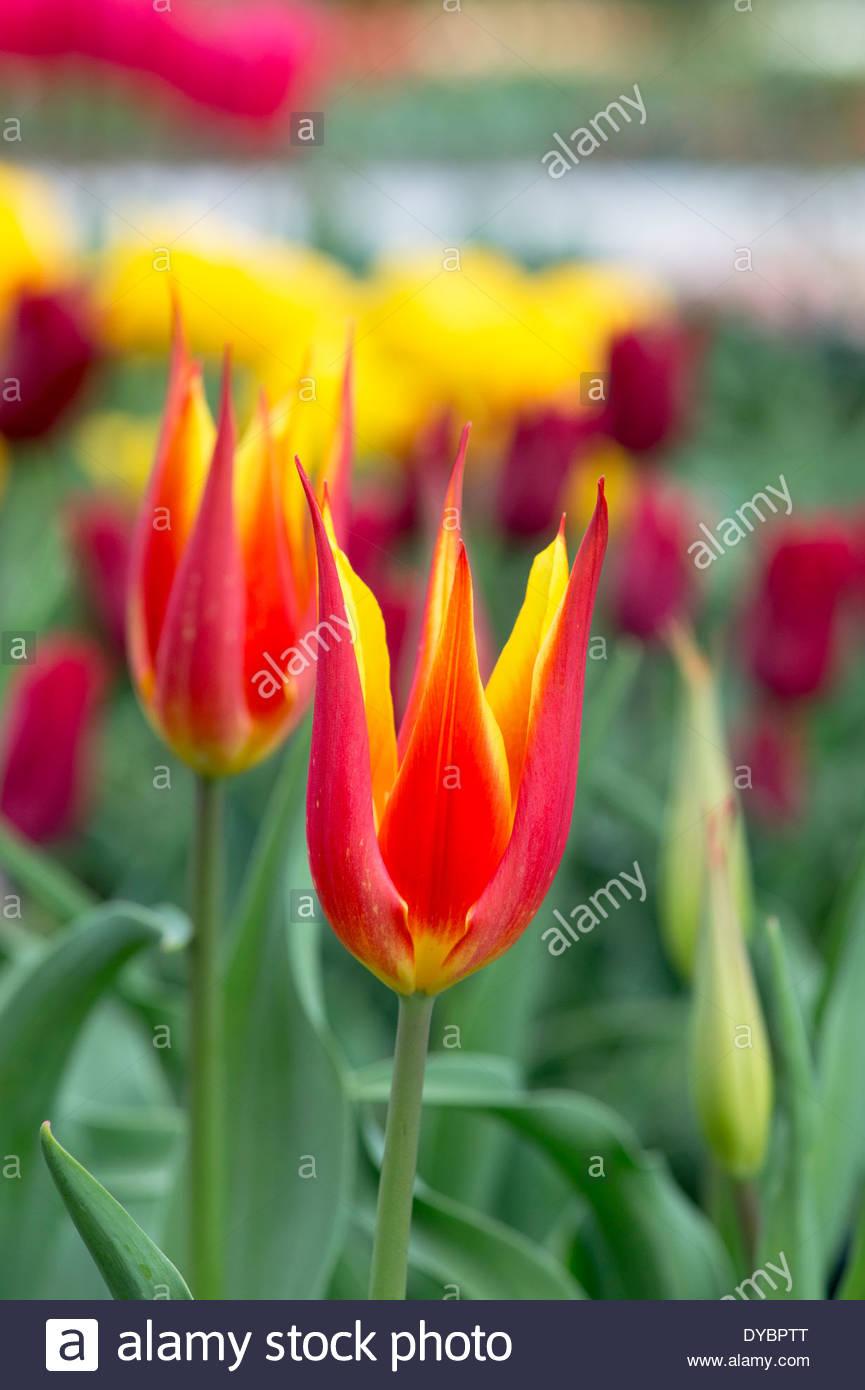 Waterlily Tulip. Tulipa 'Fly Away' flowers - Stock Image