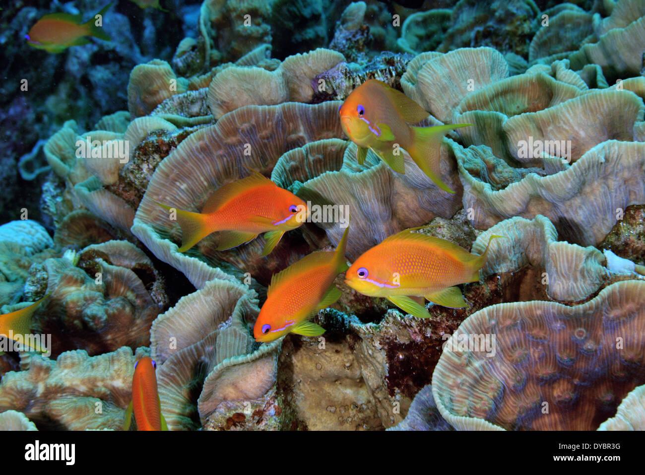 Female scalefin or lyretail anthias, Pseudanthias squamipinnis and coral reef, Gulf of Aqaba, Red Sea, Jordan - Stock Image