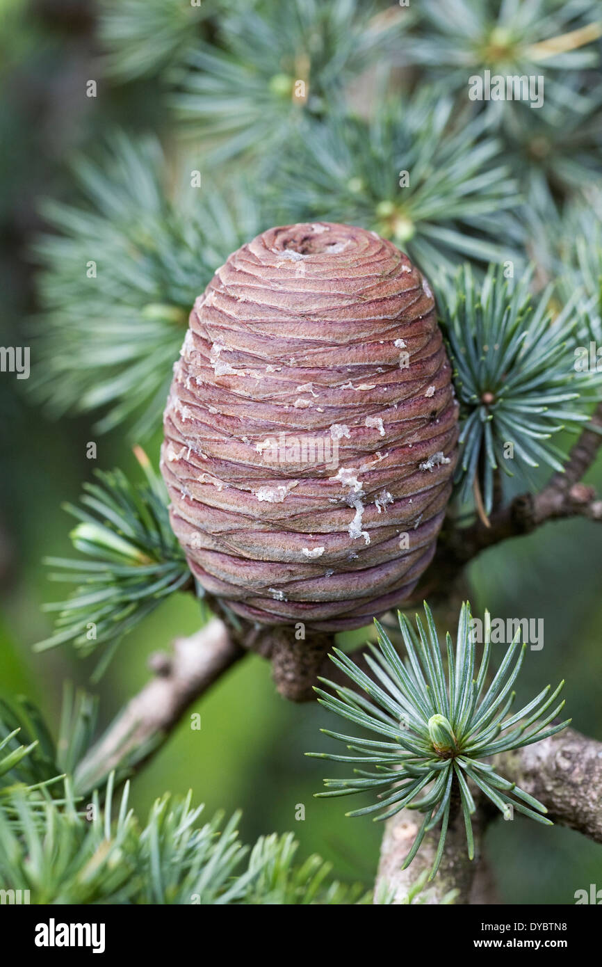 Cedrus atlantica pine cone. Atlas Cedar. - Stock Image