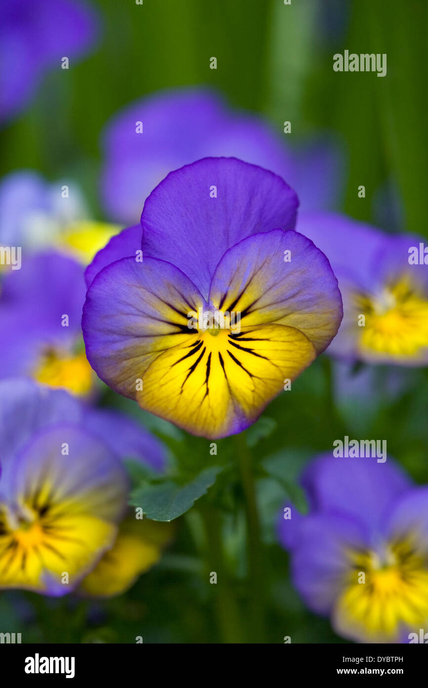 Viola 'Morpho' flowers. - Stock Image
