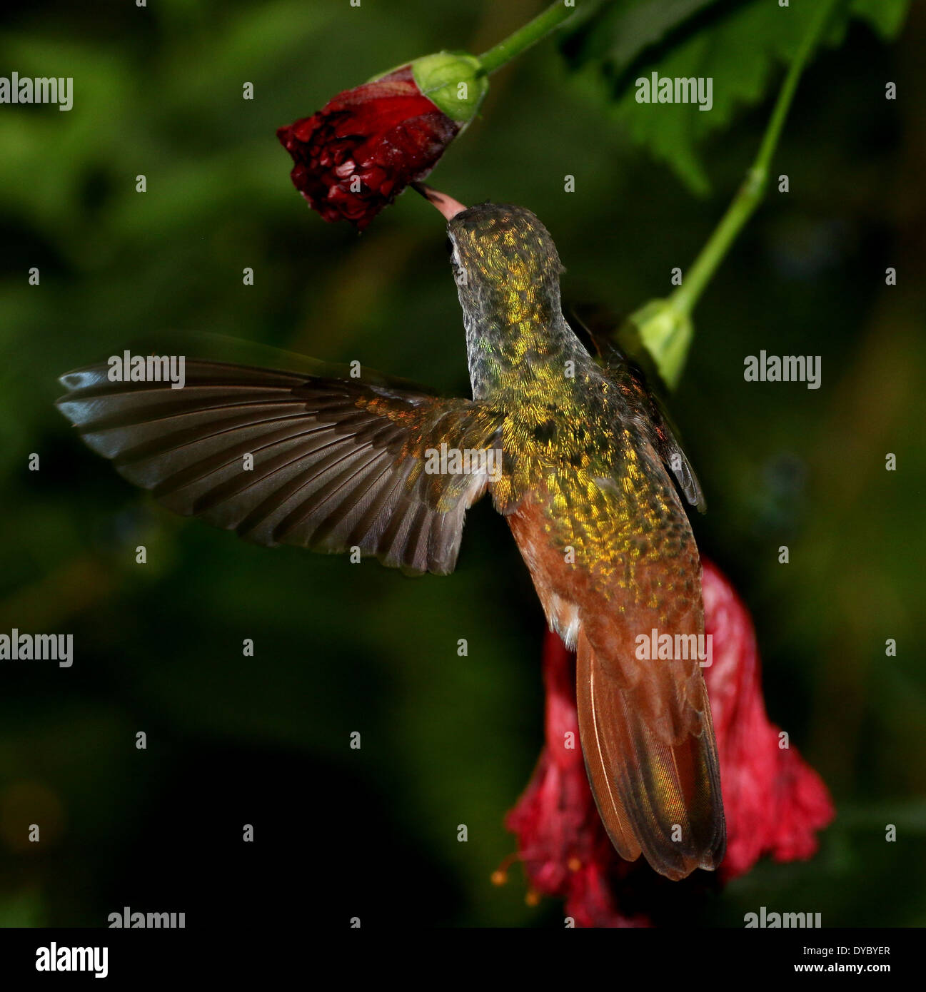 South American Amazilia or Emerald hummingbird ( Amazilia amazilia) in flight, feeding on nectar from a tropical flower - Stock Image