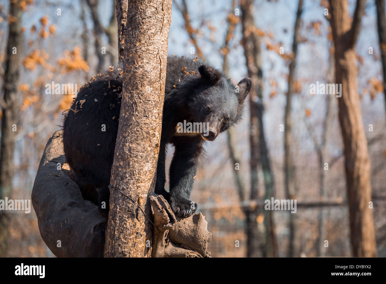 Asiatic black bear sittng on the tree in zoo - Stock Image