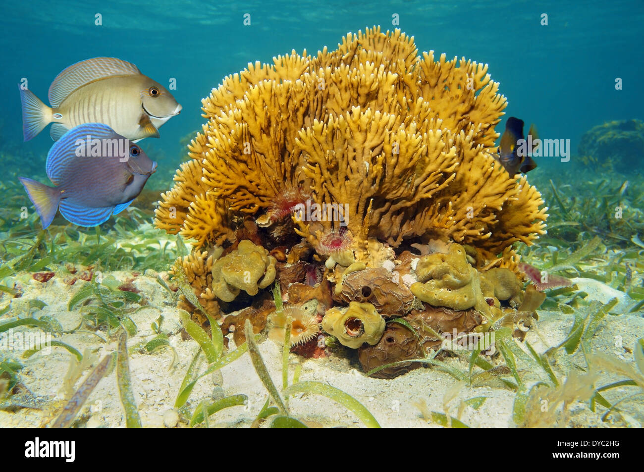 Seabed with branching fire coral, Millepora alcicornis, and tropical fish in the Caribbean sea - Stock Image