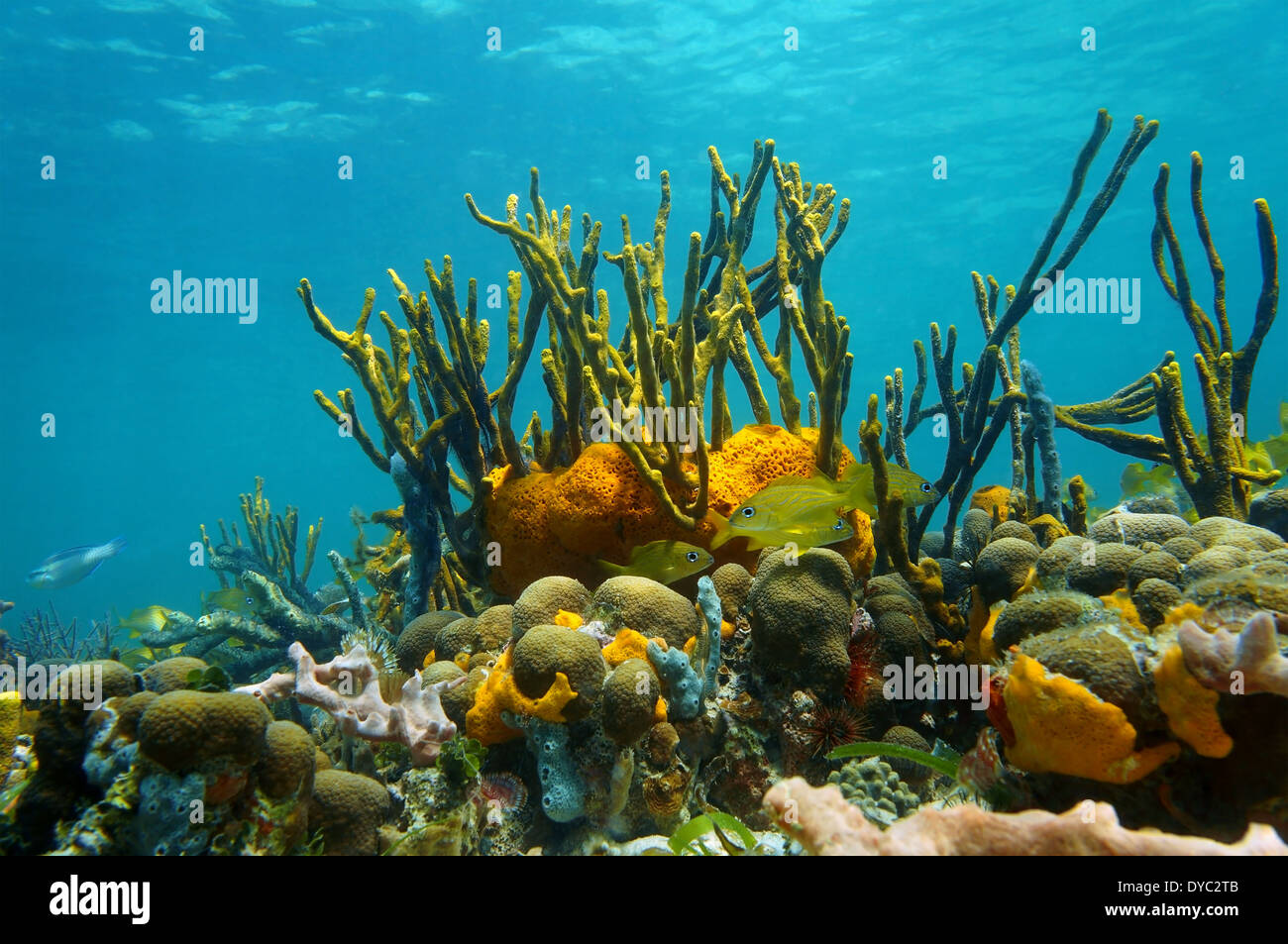 Underwater scenery with colorful marine life in a coral reef of the Caribbean sea, Mexico - Stock Image