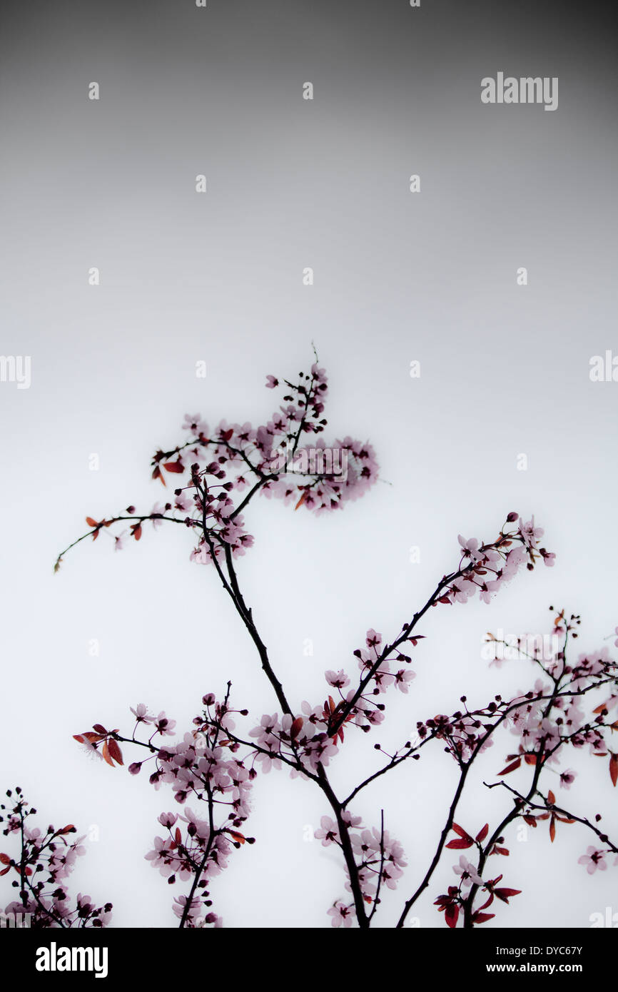 Cherry blossom stormy sky - Stock Image