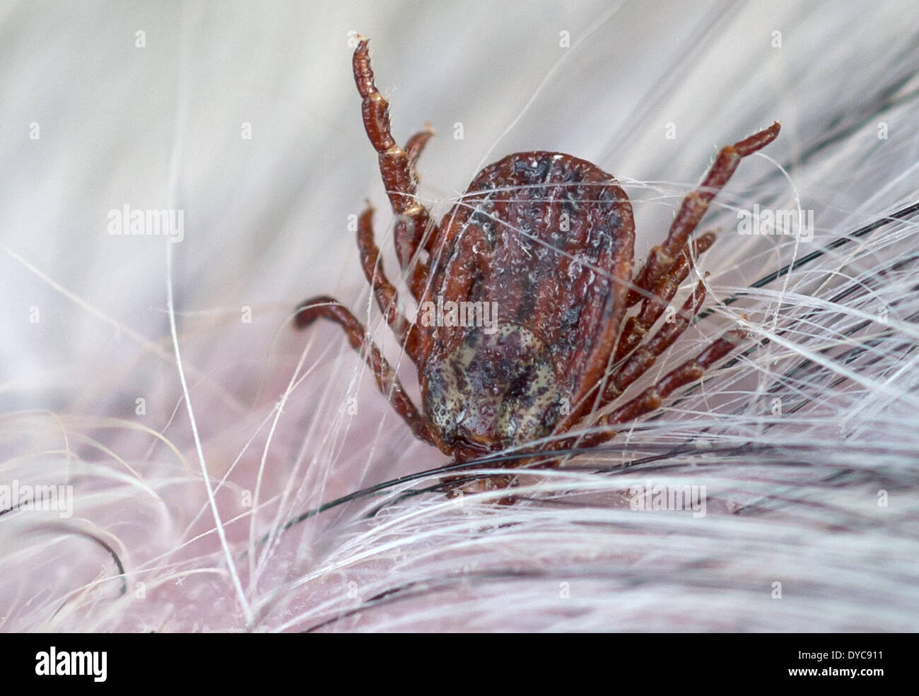 Eichwalde, Germany. 6th Apr, 2014. A tick (Dermacentor reticulatus) crawls on the fur of a dog in Eichwalde, Germany, 6 April 2014. Ticks are parasites which can transmit a variety of illnesses onto humans. Photo: Tim Brakemeier/dpa/Alamy Live News - Stock Image