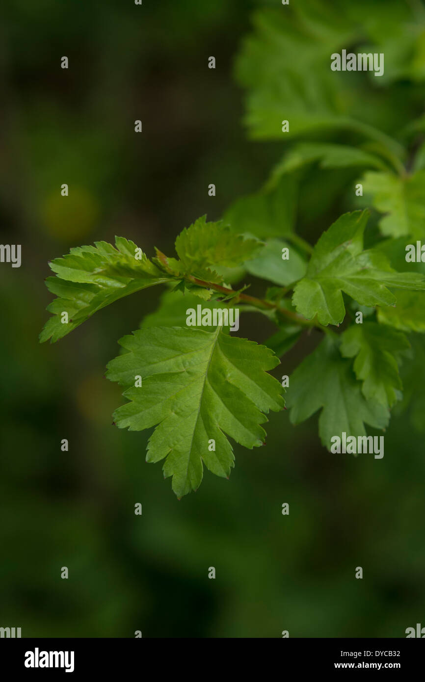 Young Hawthorn tree / Crataegus leaf - possibly of Midland Hawthorn / Crataegus oxyacanthoides as opposed to Common Hawthorn. - Stock Image