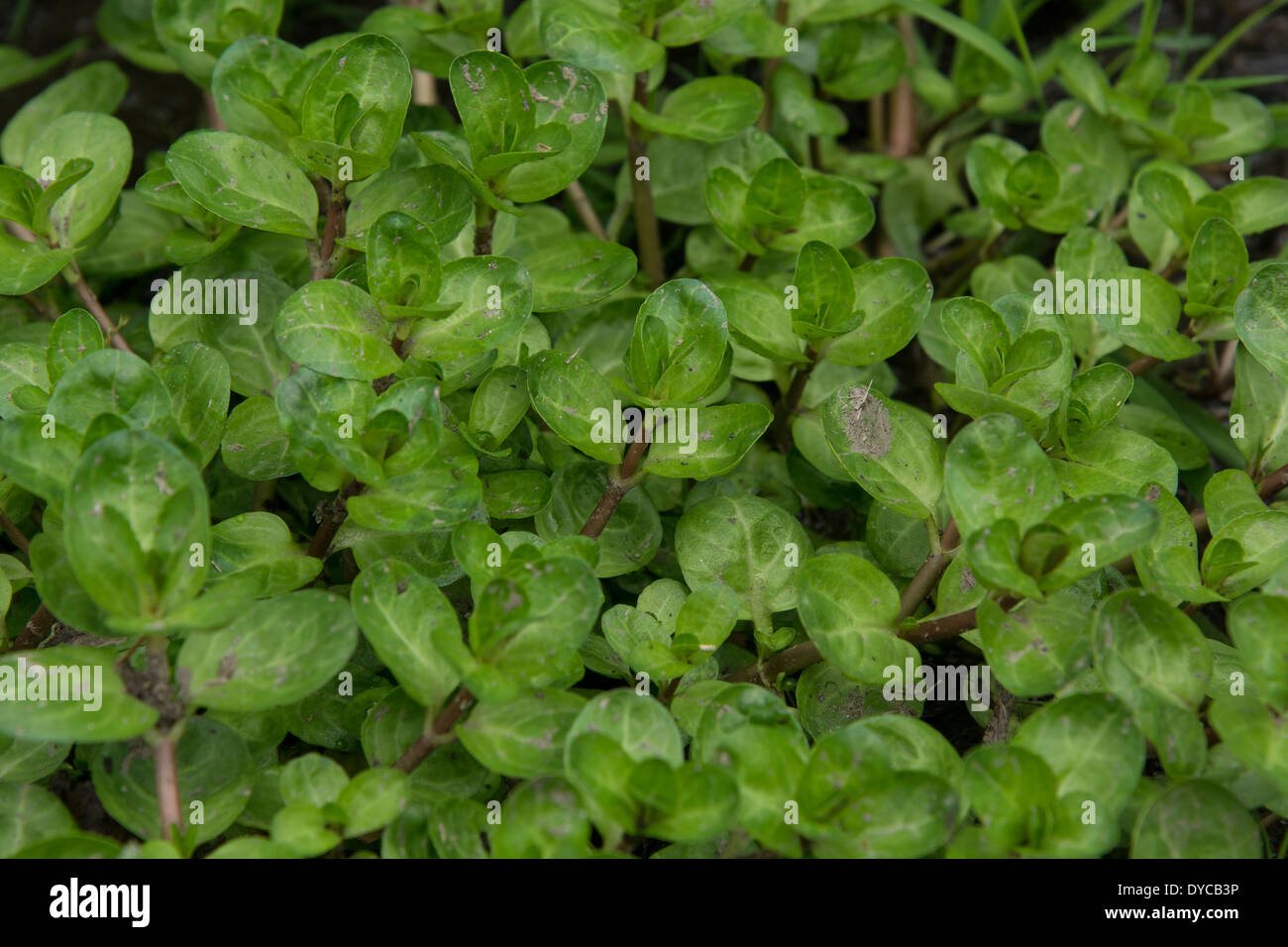 Brooklime / Veronica beccabunga. An edible wild plant growing in streams and watery places. Foraging & dining on Stock Photo