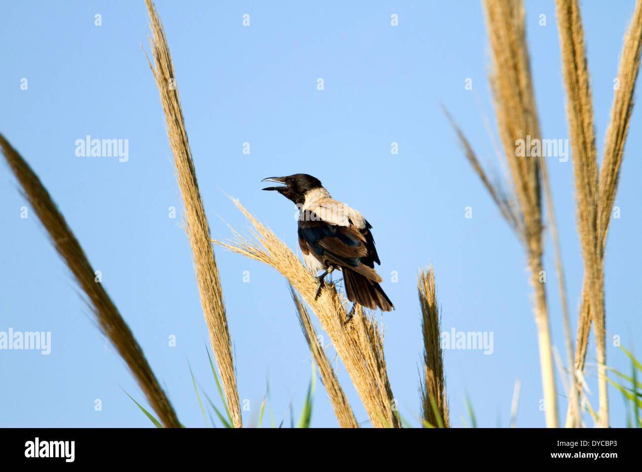 Hooded Crow calling from the top of tall grasses. Blue sky. - Stock Image
